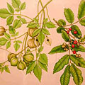 Rapid evolution of the soapberry bug to control a weedy vine
